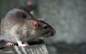 Pest control. Get rid of rats.