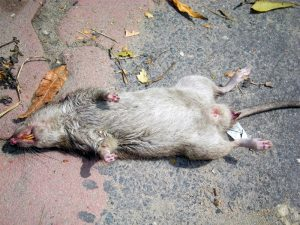 A dead Brown Rat
